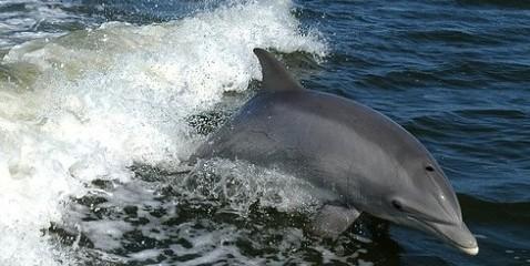 tursiops-australis-dolphin
