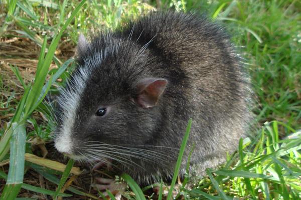 Machu-Picchu-Rat