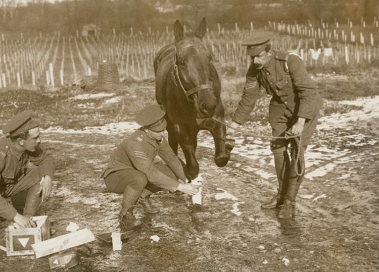 Army Veterinary Corps treated a wounded war horse (1916)