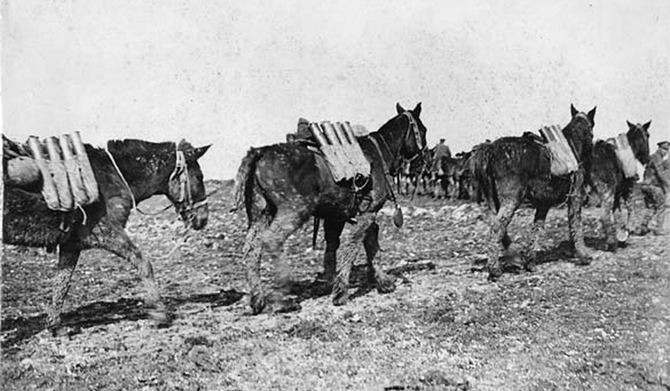 Pack mules carrying ammunition